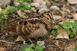 euroasiatic woodcock