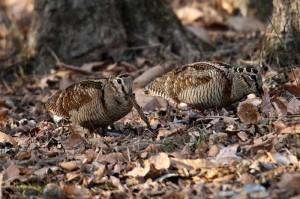 woodcocks-hounting